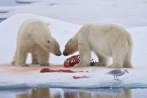 Polar bears Eating Each Other - Cannibalism
